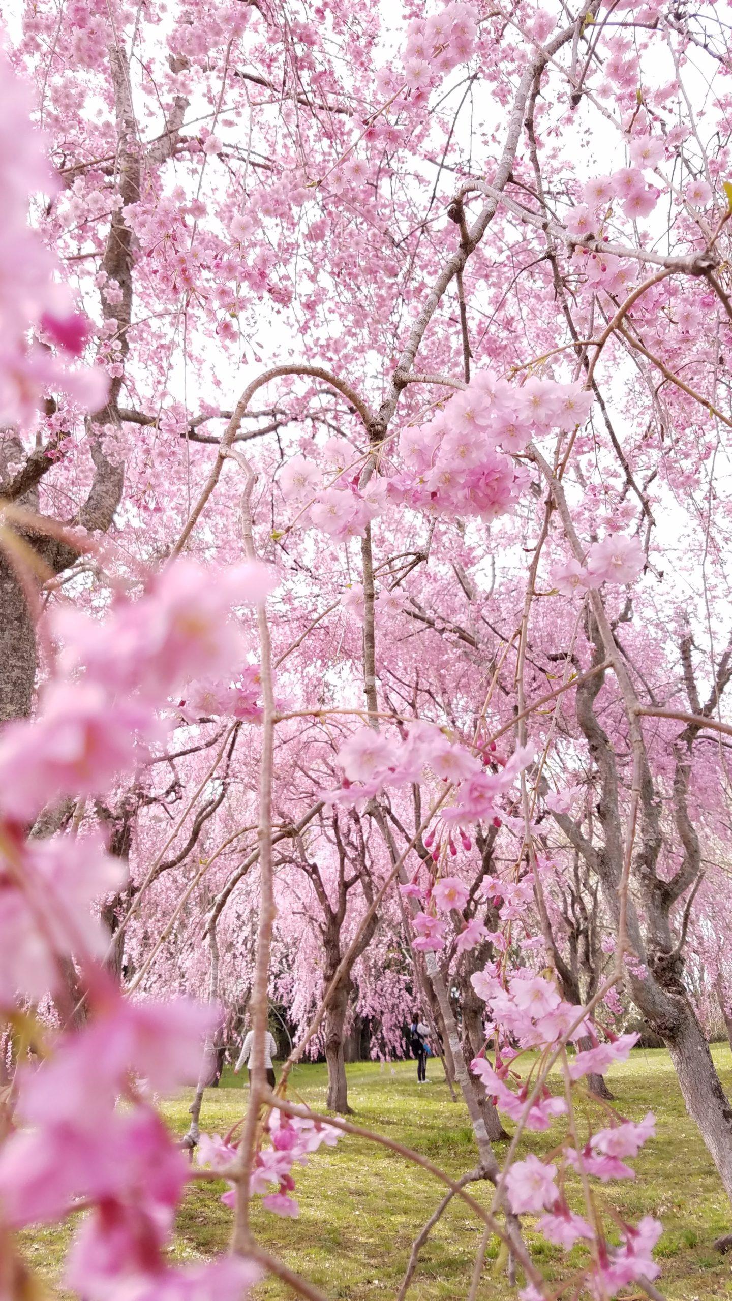 【アーカイブURLあり】【オンライン】森林セラピストとヨガ講師の野山遊び「桜」*4月17日(土)10:00~11:00